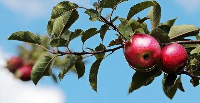 Aktualisierung ! Obstbaum-Pflanzung